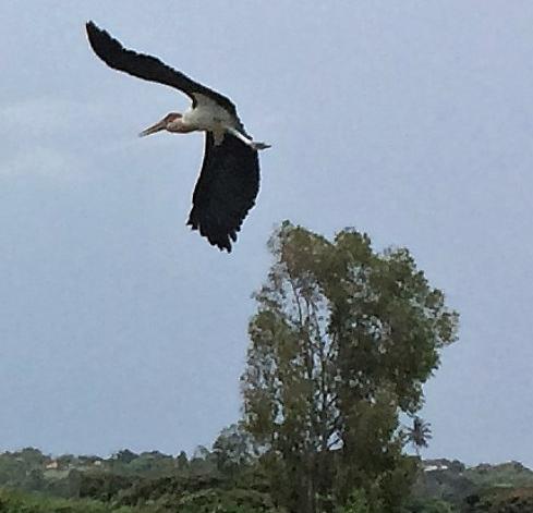 Marabou takes off